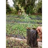 Plantas De Grateu Rojo Tamaño 0.50 Cm De Alto En Maceta De 1