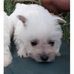 Filhotes De Westie - Cachorros de Raça no Mercado Livre Brasil