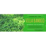 Plantas De Bambú Guadua Angustifolia Y Dendrocalamus Asper