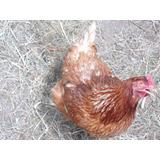 Huevos Fértiles De Gallinas Ponedoras Raza Lohmann Brown
