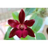 Pacote 10 Orquídeas Na Promoção Da Semana Por Teresinha Kunz