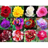 300 Sementes De Rosa Rosa Coloridas (raras Exóticas )p/muda