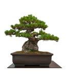 Aprende Bonsai Cultivos Sembrar Jardineria Actualizado 69