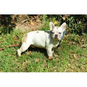 Machito Bulldog Frances