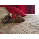 Bulldog Ingles Inscritos Cachorros Linea Extranjera 2 Meses