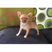 Hermosas Hembras Chihuahuas Pelo Corto Opc Pedigree