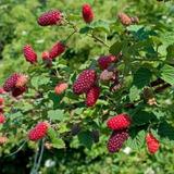 30 Sementes De Framboesa Gigante Para Mudas - Fruta Rara