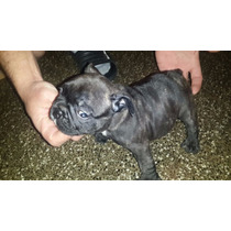 Cachorro Bull Dog Frances Machos Se Entregan 15/06/16