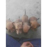 Cuatro Perritas Salchichas 1 Mes De Nacidas