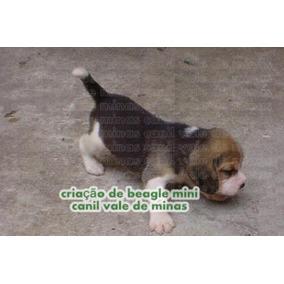Beagle Mini Oportunidade Lindos Filhotes
