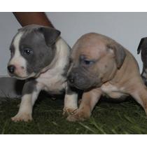 American Staffordshire Terrier - Filhotes Disponíveis