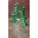 120 Galhos Ficus - Folhas Artificiais Muro Inglês Atacado