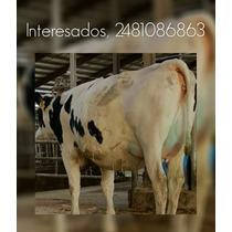 Venta De Vacas Lecheras Y Becerras Gestantes De Buena Calida