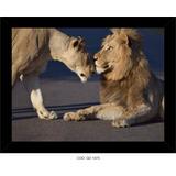 Quadro Filhote De Leão, Casal De Leão,leão Deitado