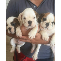 Bulldog Inglés Cachorros Machos Espectaculares !!!