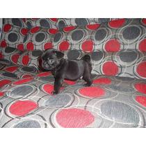 Cachorro Pug Negro , Criadero Peruano