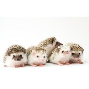 Hedgehog Ouriço Pigmeu Terrário