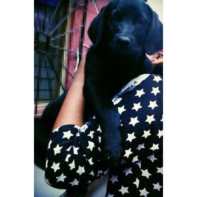 Cachorra De Labrador Negra Ultima