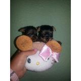 Yorkshire Miniaturas Garantía Total Mascotas Tejeda