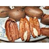Nuez De Pecan Criolla Plantines De 15 A 25 Cm Nogal Frutal