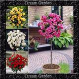 Rosa Tree Arbustiva Mix Color Sementes Flor Para Mudas
