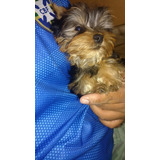 Yorkshire Terrier Toy Tres Meses