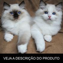 Gato Ragdoll - Tudo Sobre A Raça (frete Grátis) Promoção!