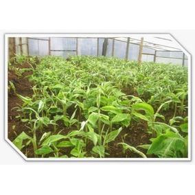 Semillas De Arbol De Platano Guineo Manzano De Tabasco