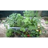 Plantines Aromaticos Cajon X 12un