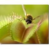 Planta Carnivora Venus Atrapamoscas Envios Oferta