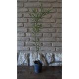 Algarrobo Blanco - Prosopis Alba - Planta Nativa - Árbol