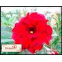 5 Sementes De Rosa Do Deserto ( Fire Fenghwang) +fretegrátis