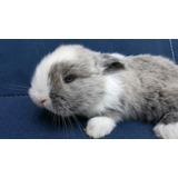 Conejos Enanos Holland Lop - Cabaña Ciudad Jardín