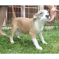 American Staffordshire Terrier Filhote Disponível