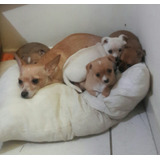 Vendo Hermosos Cachorros Chihuahua De Mes Y Medio