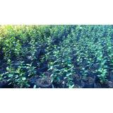 Plantas Para Cercos, Grateus,crataegus, De 20 Cm Envios