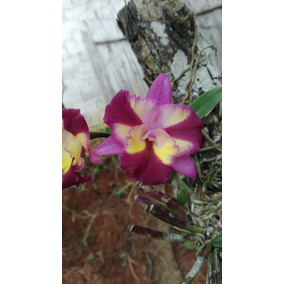 Mudas De Orquídeas - Sogo Doll Little Angel: Tamanho 3cm