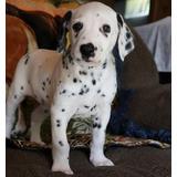 Cachorros Dálmatas Para Su Adopción