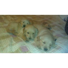 Vendo Cachorros Golden Retriver Nacidos El 4 De Mayo 2017