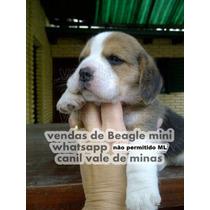 Beagle Maravilhosos Filhotes Mini