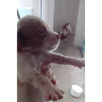 Breton Puro Cachorro Machitos