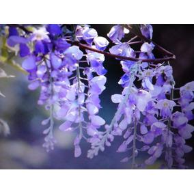 Semente 10 S Wisteria Glicínia+ 60 Acer P/bonsai/mudas E + S