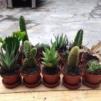 Cactus Con Suculentas Miniatura