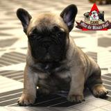 Filhotes De Bulldog Francês Pedigree Cbkc Linhagem Húngara