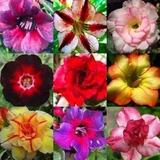 10 Sementes Rosa Deserto Mix, Adenium Obesum, Bonsai,flores