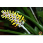 Orquideas Bromelia Aechmea Blumenavii Brasilera