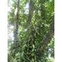 Planta De Vainilla Vanilla Planifolia Y 1 Esqueje De Regalo