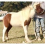 Caballo Miniatura Capon - Caballito Mini Pony