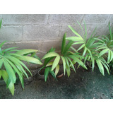 Plantas Chaguaramos Enano