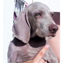 Nueva Camada Cachorros Weimaraner C/p